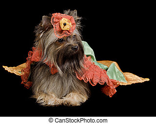 Yorkshire Terrier with royal dress
