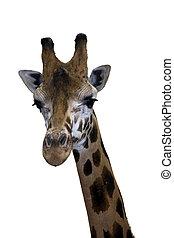 Giraffe head - Head of a Rotschild giraffe Giraffa...