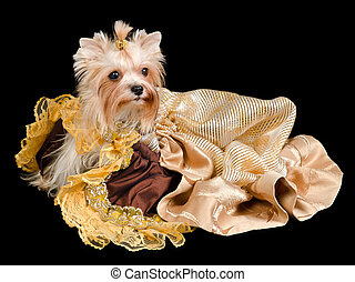 Yorkshire terrier with beautiful dress