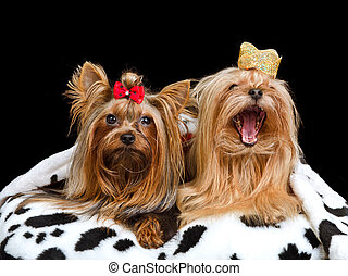 Two royal dogs with crown and gown, isolated
