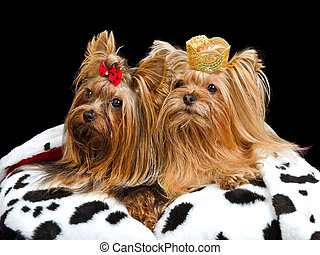 Royal dogs with crown and gown, isolated