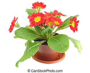 Red primrose in pot, isolated on white