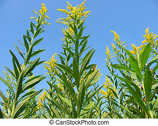 Goldenrod Field Scene - Blooming Goldenrod at Colored Sands...