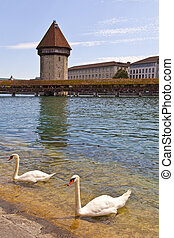 Swans in Reuss River, Luzern