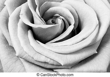 white rose - close up of beautiful white rose