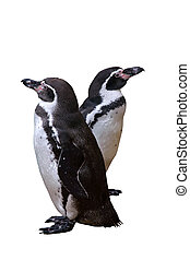 A pair of penguins - Two penguins Isolated on white...