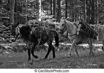 trasporto di legna nella foresta - muli che trasportano la...