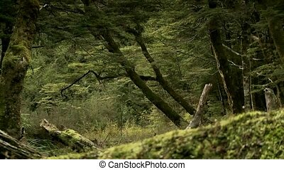 Beech forest - Lake Wanaka - Forest setting of beech trees,...