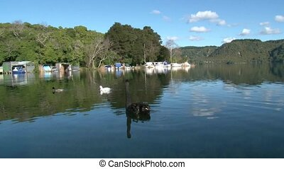 Black Swan at Lake Tarawera - Black swan at Boat shed Bay,...
