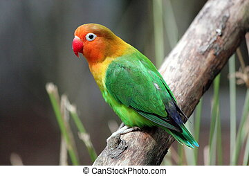 Bird agapornis-fischeri - Beautiful colored bird...