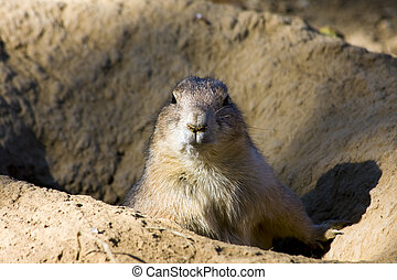 Black-tailed prairie dog (Cynomys ludovicianus) at the...