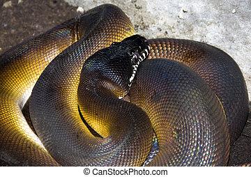 White lipped python (Liasis albertisi)