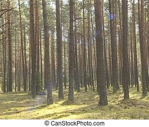 Overview of pine forest. - Overview of the pine forest. Pine...