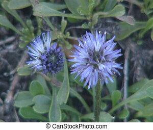 Flowers with blue blooms and its Latin name Botanical garden...