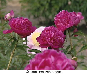 Beautiful flowers peony flowers