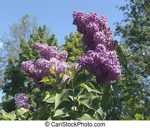 Branch of pink lilac tree blooms - Branch of pink lilac tree...
