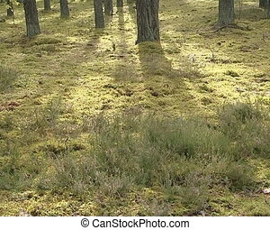 Mossy forest of pine ground and the sun penetrate through...