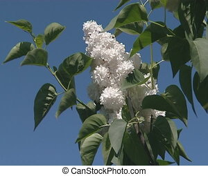 Branch of white lilac tree  blooms