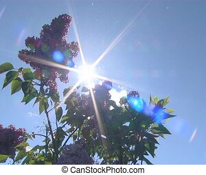 Sunlight visible through spring lilac tree blooms. Pink...