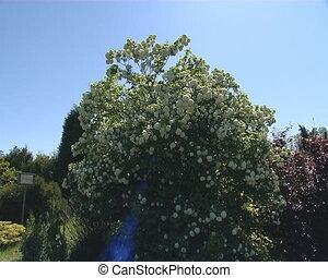 Bush of viburnum blooms