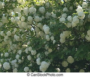 Amazing viburnum bush with many white blooms Natural view