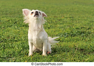barking chihuahua - portrait of a cute purebred barking...