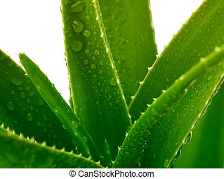 aloe with drops