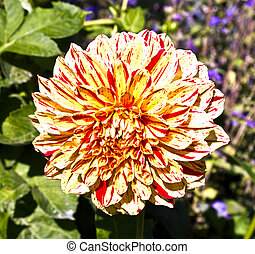 beautiful blooming dahlia in flower bed