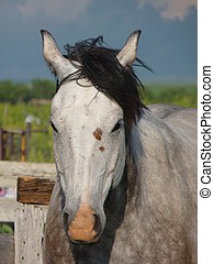 Gray Horse in a Corral