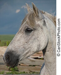 White horse in a corral