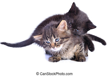 playful kittens - close-up portrait of two kittens playing...