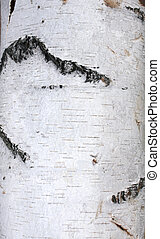 Bark of birch - Texture - a bark of an old birch