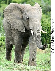African Elephant Smelling - Large African elephant scenting...