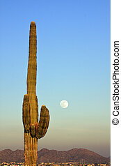 Stately Saguaro and Full Moon - a stately saguaro cactus at...