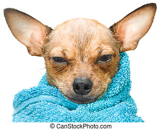Life is good - Portrait of a sweet russian toy terrier puppy...