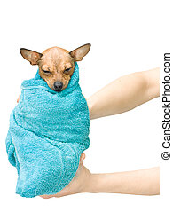 Toy terrier baby bathing