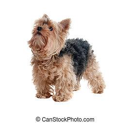 yorkshire terrier - Studio portrait of yorkshire terrier,...