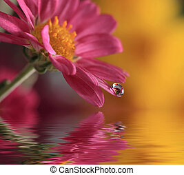 Water drop on flower - A water drop on the petal of a pink...