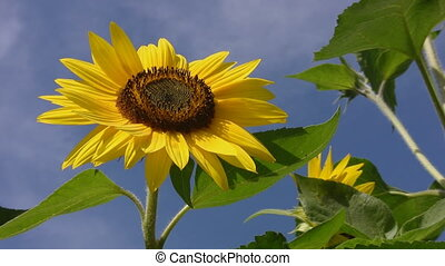 Beautiful Sunflower - A sunflower with blue sky in the...