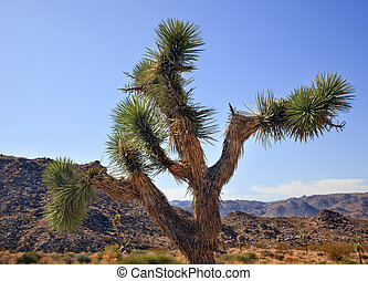Joshua Tree Landscape Yucca Brevifolia Mojave Desert Joshua Tree National Park California Named by the Mormon Settlers for Joshua in the Bible because the branches look like outstretched hands