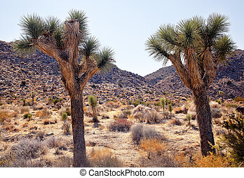 Joshua Trees Landscape Yucca Brevifolia Mojave Desert Joshua Tree National Park California Named by the Mormon Settlers for Joshua in the Bible because the branches look like outstretched hands