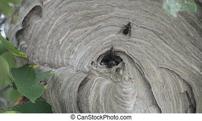 Bald-faced hornet%u2019s nest