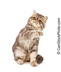 Exotic short-haired kitten