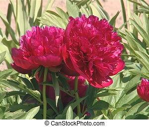 Red peony flower bush closeup.