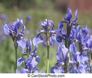 Blue flowers iris blooms moving in the wind.