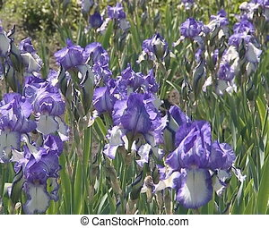 Lot of blue iris flowers blooming