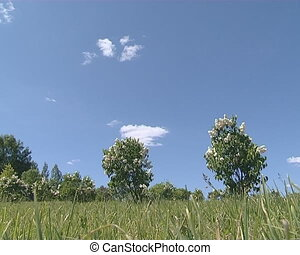 White blooming lilac trees in meadow on background of blue...