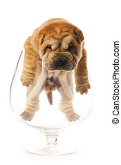 Sharpei puppy inside glass isolated on white background...