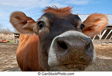 Closeup Face of Young Jersey Cow Heifer - This closeup is a...