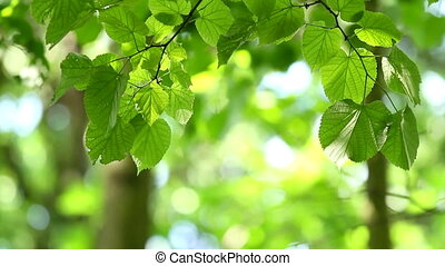 Leaves - Beautiful linden tree detail